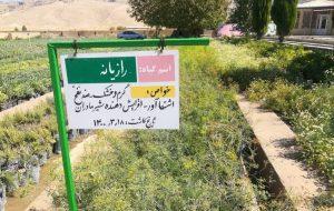 تولید گیاهان دارویی در نهالستان های منابع طبیعی استان ایلام